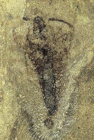 Strudiella devonica in voller acht Millimeter langer Pracht.
