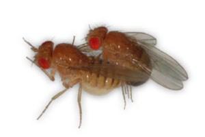Die Veränderungen im Mitochondrien-Genom schränken nur die Lebensdauer der Männchen ein, nicht der Weibchen.