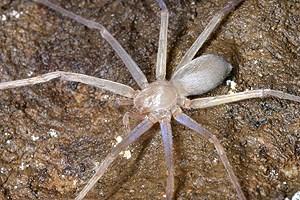 Skurril-marktwirtschaftlich kluges Detail am Rande: Der Arachnologe hat Sinopoda scurion nach einer Schweizer Firma für Höhlen-Stirnlampen benannt.