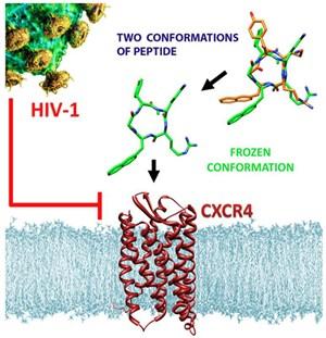 Das abgewandelte anti-HIV-Molekül (Mitte) bindet mit hoher Affinität an den CXCR4-Rezeptor auf der Oberfläche von Immunzellen.