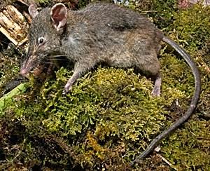 Paucidentomys vermidax, neu entdeckte Spitzmausrattengattung ohne Mahlzähne.