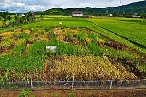 Auf einem Feld auf den Philippinen wird die Wirkung des Erbmaterials alter indischer Reissorten getestet.