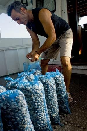 Der venezianische Fischer Ermes Bergo beim Verpacken von Venusmuscheln.