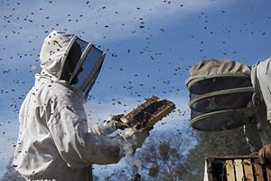 Gezeigt wird die Massenproduktion. Armeen für den großindustriellen Bedarf an Naturprodukten: In Kalifornien werden Bienenvölker für den Weitertransport abgepackt.