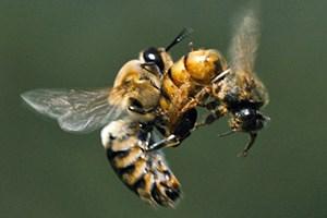 """""""More Than Honey"""" zeigt die Biene aus der Perspektive einer anderen Biene. Zu sehen ist zum Beispiel die Begattung der Königin im vollen Flug."""