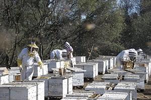Pakete voller Arbeitskraft: Die Bienenvölker werden für den Weltmarkt fit gemacht.