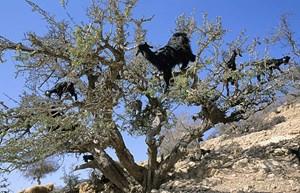 In Marokko werden Ziegen sogar zu Meister im Klettern, um an der Krone des Arganbaums zu naschen.