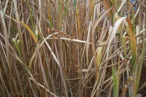 Die Bedarf für die E10-Beimischung könnte in Österreich aus Reststoffen wie Mais- oder Weizenstroh und Elefantengras gedeckt werden.