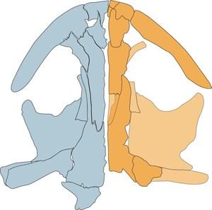 Schädelzeichnung des lebenden chinesischen Salamanders (blau) und Schädelrekonstruktion des fossilen mongolischen Salamanders (gelb).