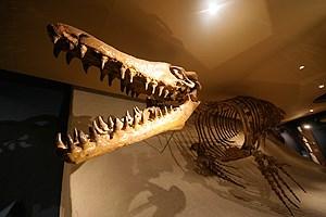 Bereits 1998 wurde ein Fossil eines Mosasaurus in Maastricht entdeckt. Das nun gefundene dürfte noch älter sein.
