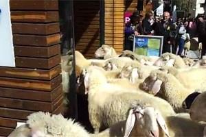 Schafe auf Abwegen.