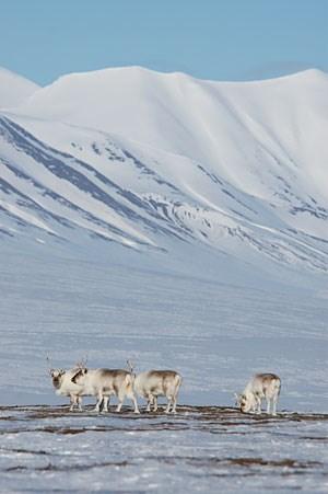 Rentiere beim kargen Grasen auf Spitzbergen.