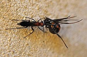 Diese Rotrückenspinne wird niemanden mehr beißen - dafür sorgt gerade eine Wespe der Spezies Agenioideus nigricornis.