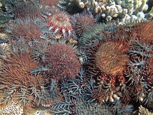 Dornenkronenseesterne gefährden Korallen noch stärker als wir Menschen.