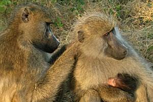 Nett zu sein zahlt sich auch bei den Pavianen aus: Weibliche Tiere, die freundlich grunzen, kommen viel öfter in die Gunst einer Fellpflege als Einzelgängerinnen.