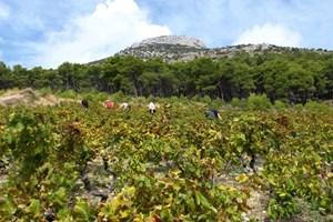 Erntehelfer schickt die Winzerfamilie Marinkovic-Spadic aus Dankbarkeit auf die wenigen ebenen Weinberge der Insel Brac.Informationen: stina-vino.hr croatia.hr-> Ansichtssache mit Fotos von Brac