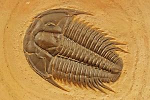 Die ältesten Trilobiten-Fossilien stammen aus dem frühen Kambrium - hier ein etwa 500 Millionen Jahre altes Exemplar.