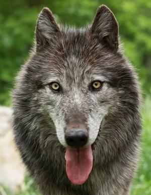 Wollen wir mehr über den Menschen erfahren, müssen wir uns mit Wölfen beschäftigen, plädiert der Wissenschafter.