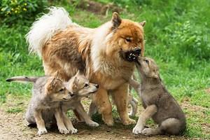 Wolf und Hund im direkten Vergleich. Kein anderes Haustier zeigt heute eine derartige Variationsbreite an Größe und Form.