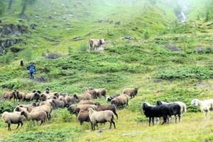 Im Villgratental schauen die Kühe wirklich blöd. Weil ihnen die Schafe beim Almabtrieb seit dreißig Jahren die Show stehlen.Informationen:villgratental.com osttirol.com villgraternatur.at