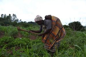 """In Malawi konnte mithilfe einer speziellen Baumsorte die Maisproduktion erheblich gesteigert werden: Marie-Monique Robins Film """"Zukunft pflanzen""""."""