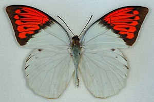 Die Flügel des Great Orange Tip sind schön, aber auch giftig.