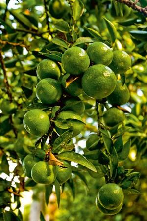 Die Chinotto wird sowohl grün als auch vollreif geerntet - süßer aber wird sie dadurch auch nicht.