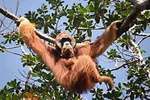 Majestätisch: Ein Männchen des Sumatra-Orang-Utans.
