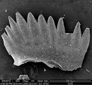 Ein Conodontenzahn, durch ein Elektronenmikroskop gesehen. Mit Hilfe dieser Fossilien lässt sich die Temperatur rekonstruieren.