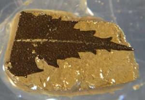Ein 24.700 Jahre altes Blatt aus dem See.