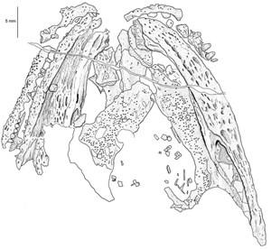Zeichnung des Schädels nach einem Silikonausguss. Zu sehen sind Teile von Ober- und Unterkiefer sowie die Knochen des Gaumens.
