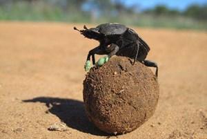 Zogen die Forscher den Käfern kühlende Patschen aus Silikon an, kletterten sie seltener auf die Mistkugel.