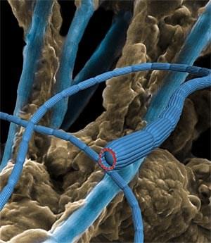 Schematische Darstellung der hauchdünnen, aber zentimeterlangen Ketten von Bakterien (blau), die wie Kabel Strom leiten können. In einem Fingerhut voll Meeresboden finden sich etliche Meter der Bakterienkabel.