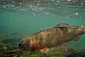 Eine Regenbogenforelle am Angelhaken ... ob sich die Fische über längere Zeit an den Geruch von Raubfischen erinnern, dürfte auch von ihrer Persönlichkeit abhängen.