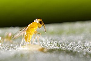 Komplexes Zusammenspiel in Sachen Fortpflanzung: Die winzige Schlupfwespe Encarsia pergandiella legt ihre Eier in eine Schildlaus ab und steht ihrerseits unter dem Einfluss des Bakteriums Cardinium hertigii.