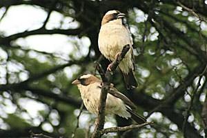 Ein Mahaliweber-Pärchen: Oben das Männchen, unten das Weibchen.