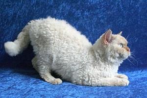 """Kein Wolf, sondern eine Katze im Schafspelz: Die Mutation """"Sadre"""" verleiht den Selkirk-Rex-Katzen Kraushaar."""