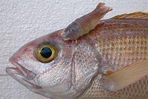 Parasiten sind in der Regel unsichtbar für das freie Auge. Eine Ausnahme bildet die parasitäre Meeresassel Anilocra gigantea, die hier am Kopf eines Schnappers (Pristipomoides filamentosus) sitzt. Im Durchschnitt beherbergt ein Korallenfisch gleich zehn unterschiedliche Parasitenarten.