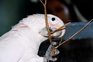 Nuss macht erfinderisch:  Figaro beißt sich einen Splint aus dem Balken oder bricht sich einen verzweigten Ast zurecht, ...