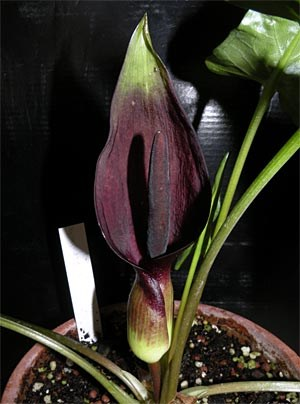 Die Kesselfallenblume Arum elongatum. Sie und ihre Verwandten verleiten Insekten mit Tricks zur Bestäubung.