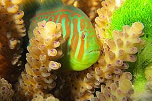 Grünalgen (rechts) können Korallen schädigen, diese lassen sich deshalb von Grundeln helfen, die das Seegras fressen.