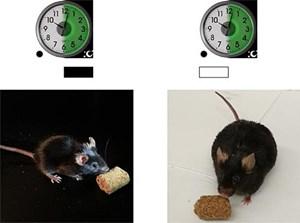 Ist die innere Uhr kaputt, dann kann dies zu Übergewicht führen - zumindest haben dies Untersuchungen an Mäusen gezeigt.