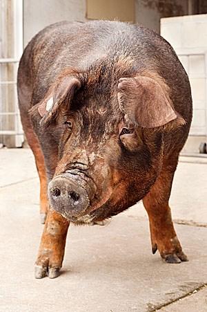 Ein weibliches Duroc-Schwein. Diese Zuchtrasse nahmen Forscher zum Ausgangspunkt ihrer Untersuchung des Schweinegenoms.
