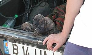 3.000 bis 4.000 Hunde werden pro Jahr illegal nach Österreich importiert. Viele werden zu früh von der Mutter getrennt und sind weder geimpft noch gechippt.