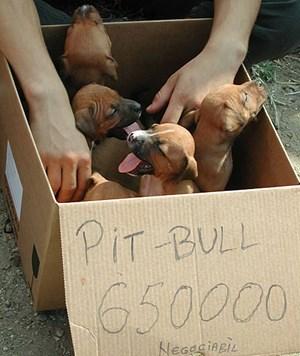 650.000 rumänische Lei für einen Pit Bull. Das sind umgerechnet rund 143 Euro, aber dabei handelt es sich nur um die Verhandlungsbasis.