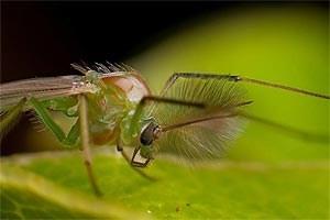 Die Zuckmücke Chironomus riparius lebt an Süßgewässern in ganz Europa. An ihrem Beispiel untersuchten die Wissenschafter die Effekte des globalen Klimawandels.