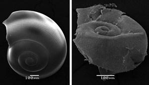 Der Vergleich unter dem Mikroskop macht die Biologen sicher: Das Gehäuse der Flügelschnecke (links intakt) wird durch saures Meereswasser stark ramponiert (rechts).