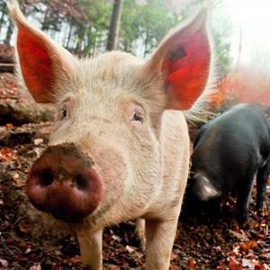 """Echter Culatello di Zibello mag korrekt als """"Ärschlein von Zibello"""" übersetzt werden, er gilt dennoch als Krönung italienischen Schinkenhandwerks. Die Keulen der im Freien gehaltenen Schweine werden entbeint,..."""