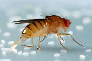 Drosophila melanogaster bei der Eiablage. Riechen die Fruchtfliegen an einer potenziellen Nahrungsquelle die Substanz Geosmin, dann machen sie automatisch einen großen Bogen darum.
