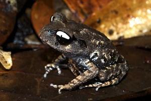 """Den """"Yin und Yang-Frosch"""" erkennt man an den schwarzen-weißen Augen."""